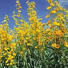 Bunga Matahari Sunflower Maximilian benih big sunflower
