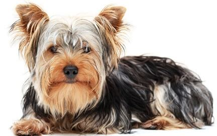 yorkie expectancy lifespan of terrier dogs 1001doggy