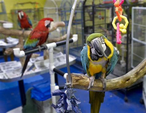 bird rescue pennsylvania nesting instincts bird rescue is looking for a new home lancasteronline local news