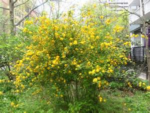Green Foliage Plants - playground garden kerria bushes in bloom photo hubert steed photos at pbase com