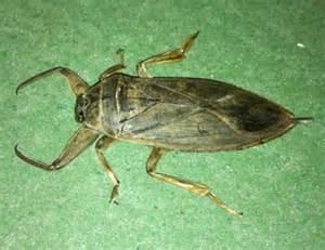 Big Brownish Beetle (Giant water bug)   Simple Gifts Farm