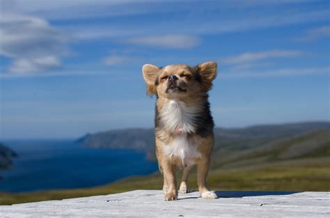chihuahua food best food for chihuahuas in 2017 thehappypooch