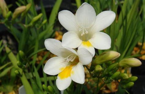 come curare le in vaso fresia come curare e coltivare le fresie in vaso e in