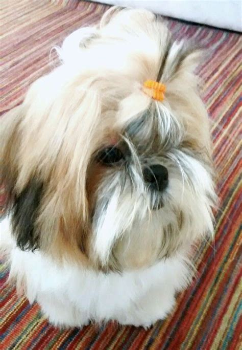 shih tzu imperial and princess type 2738 best shi tzu puppies images on shih tzus animals and puppies