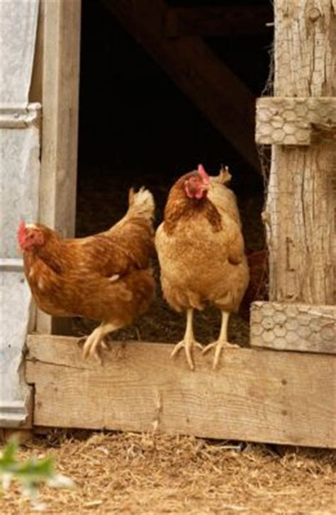 Backyard Chickens Expanding Our Understanding Of Harm 79 Best Chickens In My Backyard Images On The