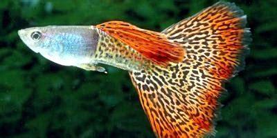 Pakan Udang Untuk Guppy ikan yang cocok untuk penghias aquascape