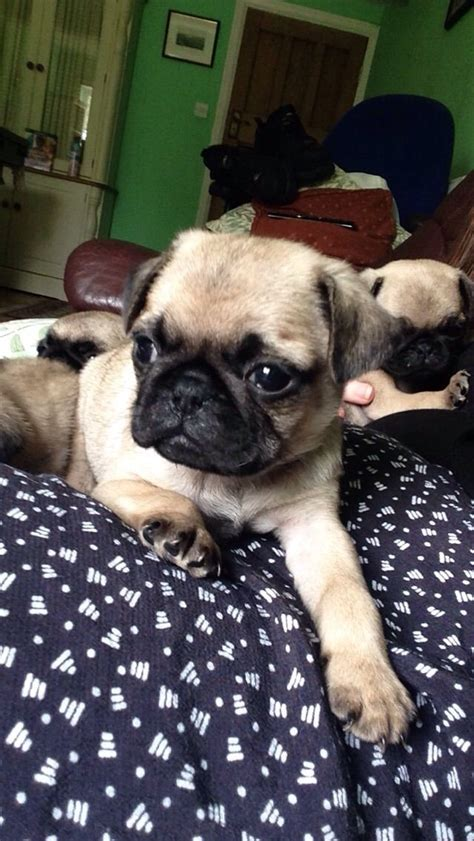 silver fawn pug puppies beautiful silver fawn pug puppies for sale south west pets4homes