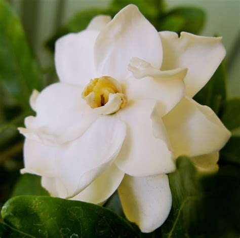 Gardenia Wont Bloom In My Garden Today