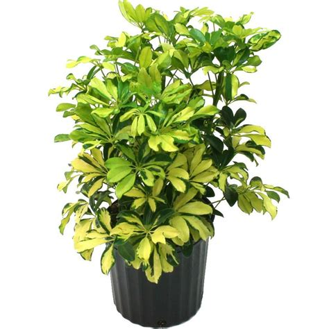 delray plants schefflera trinette in 8 3 4 in pot 10tri