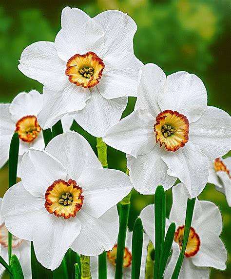 narcisi fiori narcisi recurvus bakker