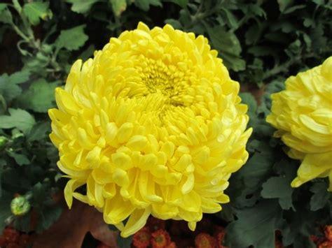 fiore crisantemo crisantemo propriet 224 terapeutiche