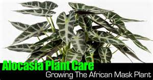 Landscape Light Parts - alocasia plant care growing the african mask plant