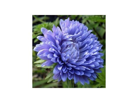fiore cresta di gallo semi di fiori cresta di gallo busta celosia cristata