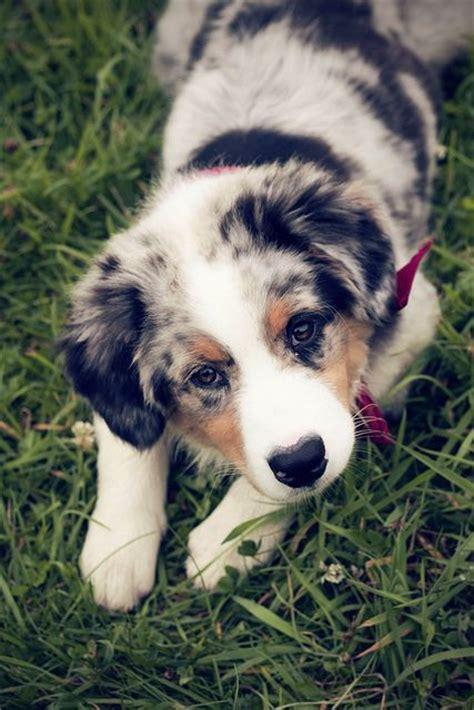 australian shepherd puppies maine 25 best ideas about australian shepherd puppies on australian shepherds