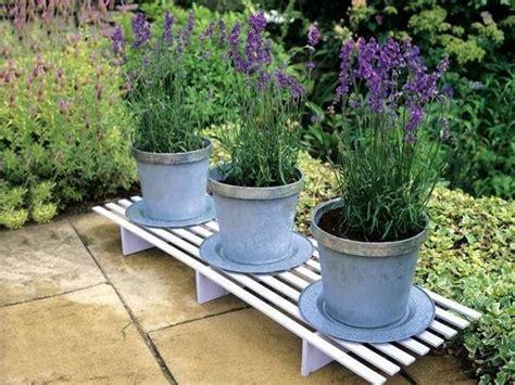 lavanda vaso lavanda in vaso piante perenni come coltivare la