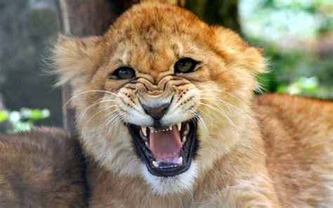 imagenes full hd de leones cachorro le 243 n rugiendo hd 1920x1200 imagenes