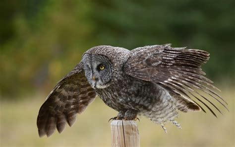 wallpaper grey birds great grey owl full hd wallpaper and background