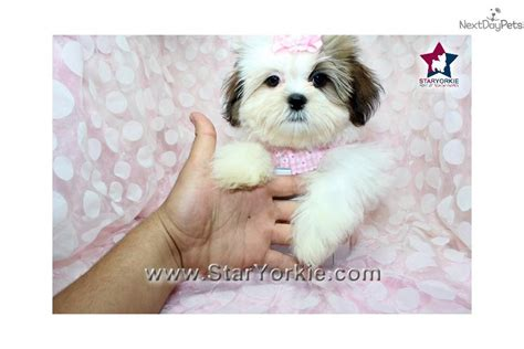 shih tzu for sale fresno ca teacup shih tzu puppies for sale in fresno ca