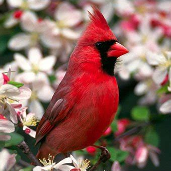 cardinals such a handsome songbird we have one of