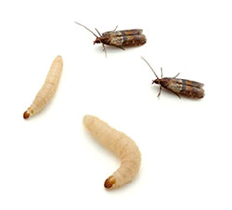 What Attracts Pantry Moths by Eb Exterminating Moths