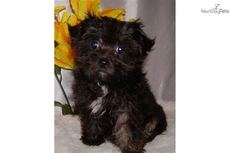 brown maltipoo puppies black and brown maltipoo puppies www imgkid the image kid has it