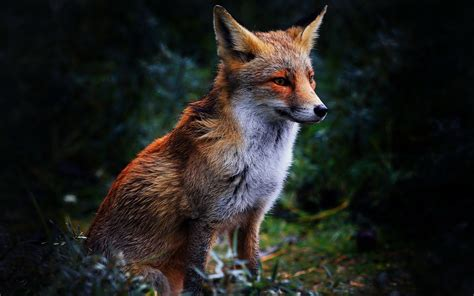 wallpapers fox the best high quality wallpapers best fuchs full hd wallpaper and hintergrund 1920x1200 id