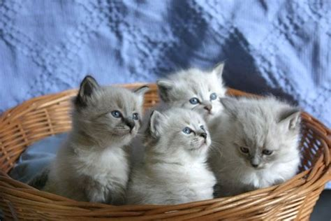google images kittens siberian cat 10 picturesofcatsorg