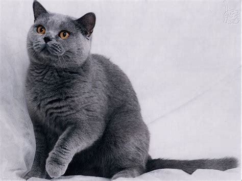 blue cats russian blue cat wallpaper