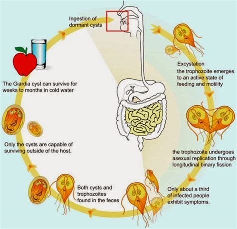 giardia treatment giardia lamblia giardiasis lifecycle symptoms diagnosis and treatment medicotips