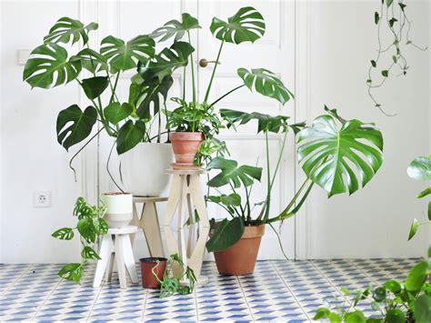 monstera tanaman hias indoor penyejuk ruangan
