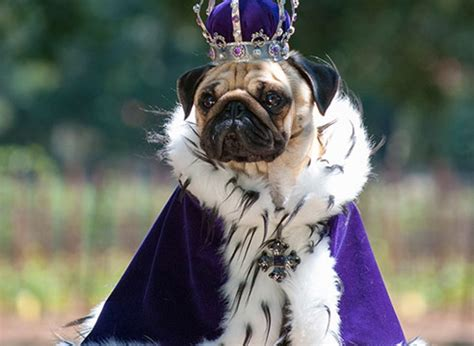 dressed up pug these dressed up pugs is best thing you ll see today yummypets