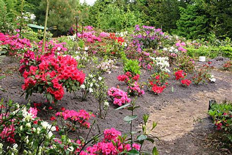 planting of rhododendrons and azaleas