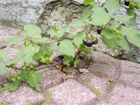 Ameisen Im Garten Vernichten by Rote Ameisen Im Garten Vernichten Ja Und Dann Hab Ich Dieses H Bsche Kr Utlein Im Garten Gefunden