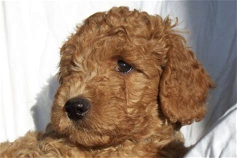 doodle puppies for sale bc labradoodle bc puppy heaven labradoodles labradoodle