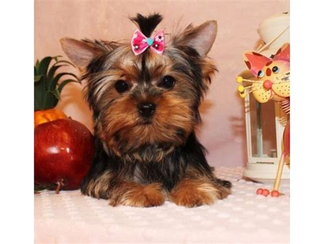 raising a yorkie puppy home raise terrier puppies available for adoption animals los alamitos