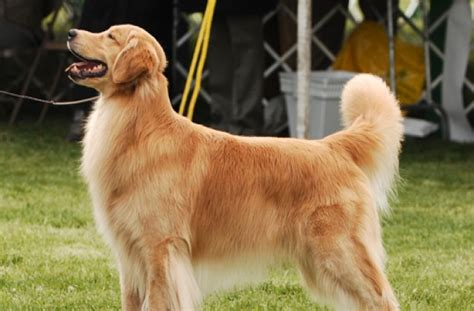 golden retriever hair haired golden retriever pictures photo
