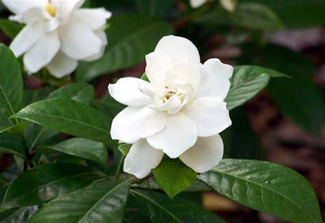 gardenia significato fiore scelte per te giardino fiore gardenia