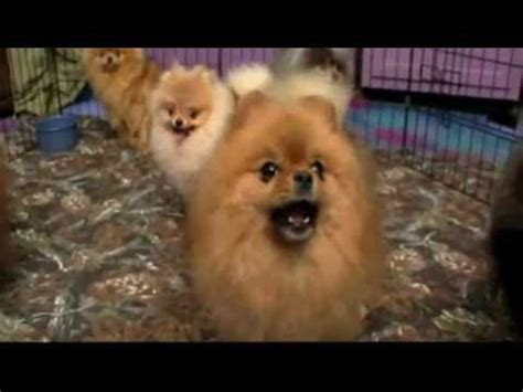 dogs 101 pomeranian shila the pom performs piano concert doovi