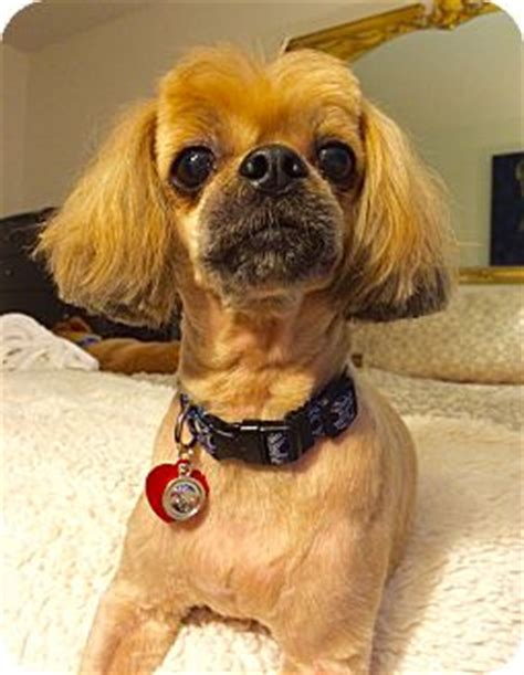shih tzu rescue ny shirley adopted new york ny shih tzu pekingese mix