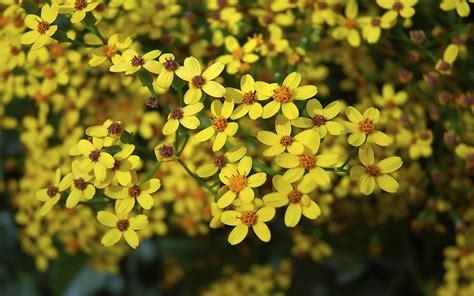 ethiopian  year flower pictures  wallpaperscom