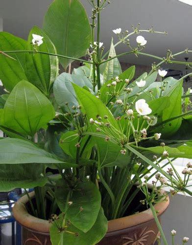 tanaman melati air mexican sword plant bibitbungacom