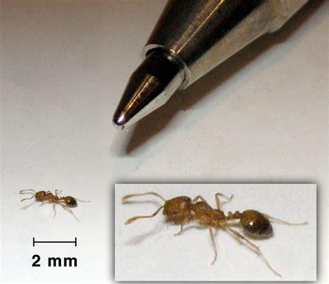 ants pharaoh ant