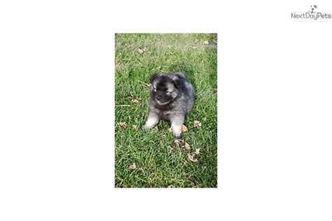 keeshond puppies for sale near me keeshond puppy for sale near indianapolis indiana 3db8417e 03d1