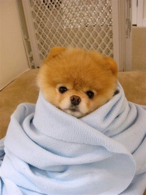 where to get pomeranian puppies meet boo the cutest pomeranian damn cool pictures