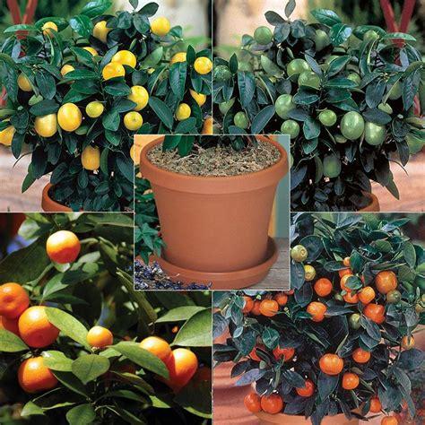 quartet citrus tree collection kit citrus trees stark