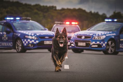 to the dogs meet the qps calendar dogs maryborough