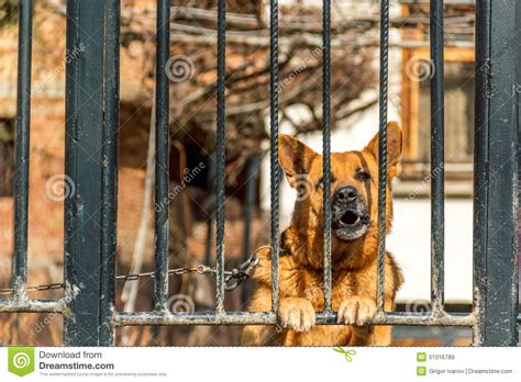 german shepherd dog house german shepherd dog stock photo image 51016789