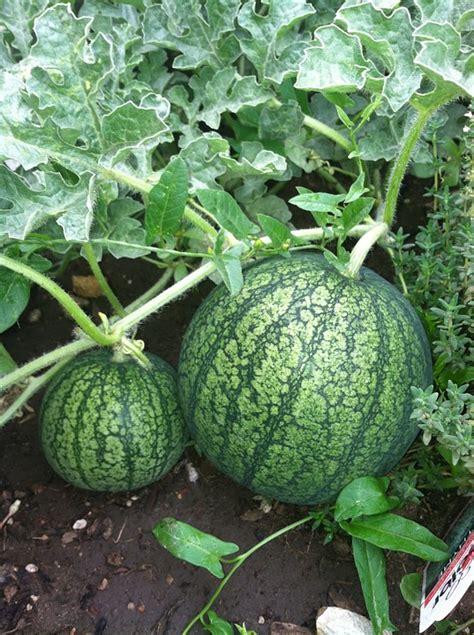 Semangka Baby watermelon fruits garden 183 free photo on pixabay