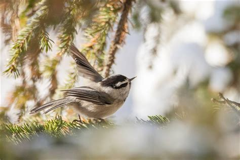 chickadee wallpapers backgrounds
