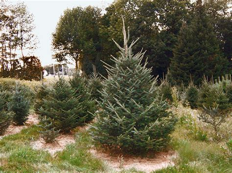 28 best christmas tree farms nh viewer s choice best